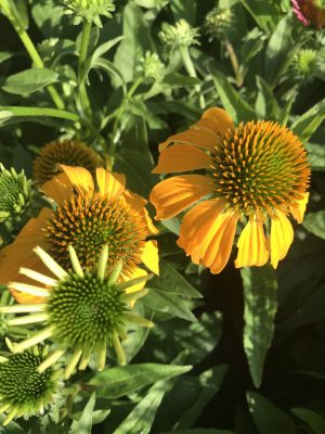 Coneflowers Blooms